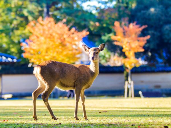 Nara Deer Luxury Travel Japan Regency Group
