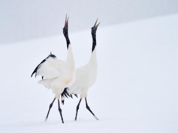 Hokkaido Red Crowned Crane Snow Skiing Luxury Travel Japan Regency Group