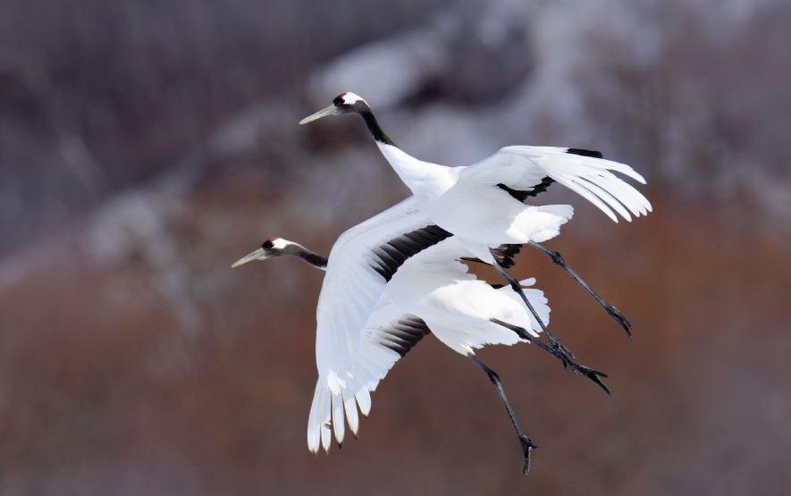 Hokkaido Bird Watching Luxury Travel Japan Regency Group