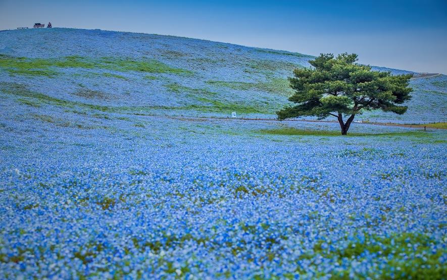 Nemophila Hitachi Seaside Park spring Luxury Travel Japan Regency Group