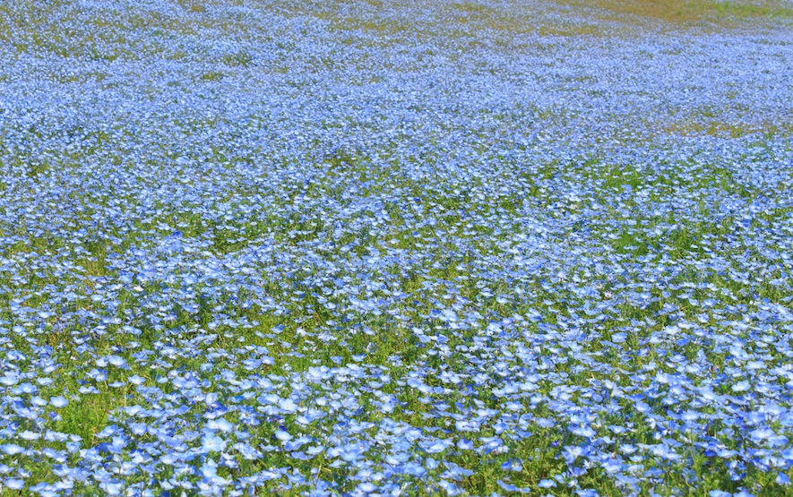 Nemophila Hitachi Seaside Park Luxury Travel Japan Regency Group